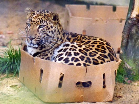 Jaguar in a box