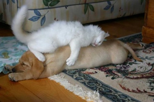 cat dog pillow