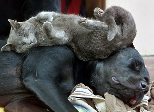 cat naps on dog