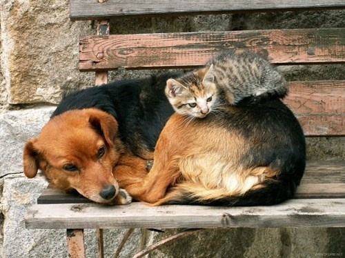 Dog is kitty's pillow