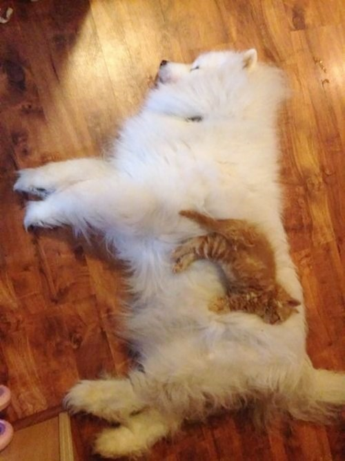 Kittten sleeps on fluffy dog