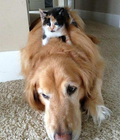 kitten rides dog