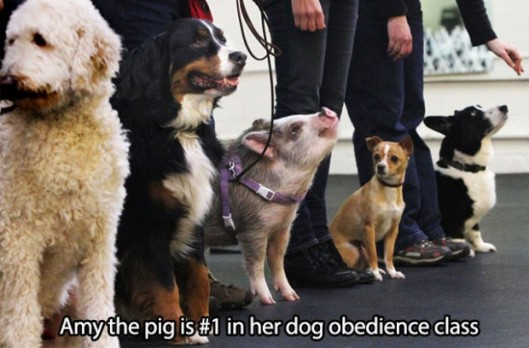 obedient pig