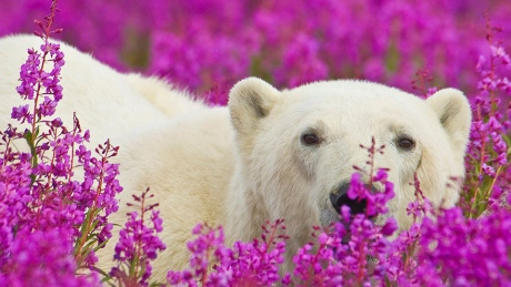 fireweed-bears-5