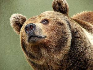 cuddly brown bear