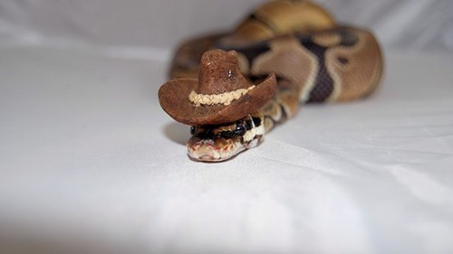 Cowboy hat snake