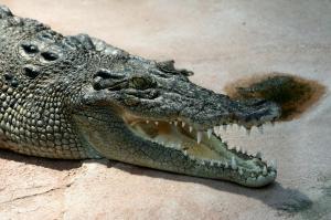 crocodiles are awake while sleeping