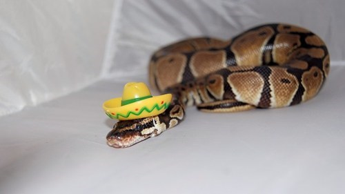 Mexican snake