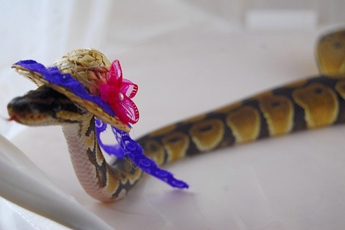 Church hat snake