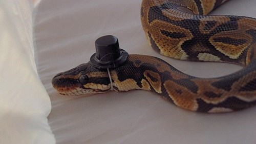 Top hat gentleman snake