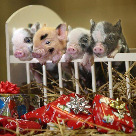 Christmas pig presents
