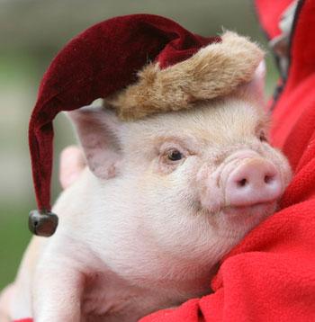 Christmas Santa hat pig
