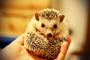pat this  lil hedgepig