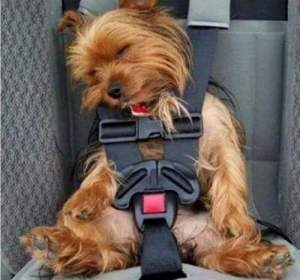 Puppy is strapped in and ready to go...asleep