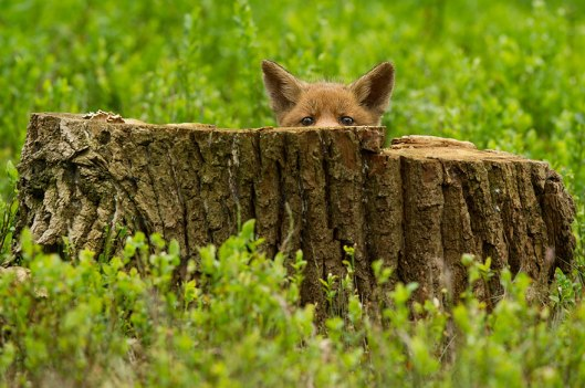 hide and seek peekaboo fox