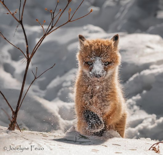 fox kit snow play time