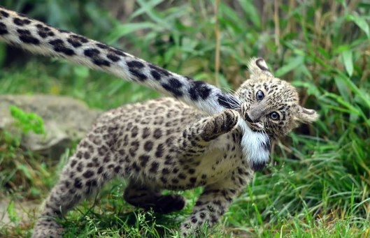 adorable leopard kitten