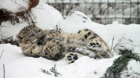 fun snow leopard tail nomming