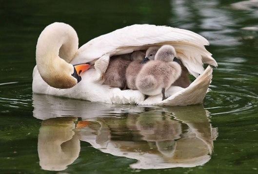 swan gosling